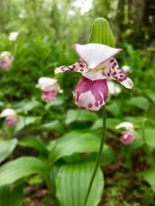 Just one of many varieties of native Alaskan flowers are found at the Alaska Botanical Garden. (Cheryl Welch | Travel Beat)