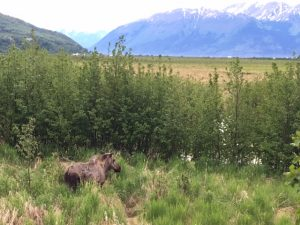 A mama moose and her two calves munch on grass and leaves in Potter Marsh, just outside of Anchorage on the way to the Kenai Peninsula. (Cheryl Welch | Travel Beat)