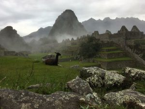 Llamas roam Machu Pichhu at will. This morning the sun has yet to burn the mist off the ruins. (Kevin Kaiser | Travel Beat Magazine)