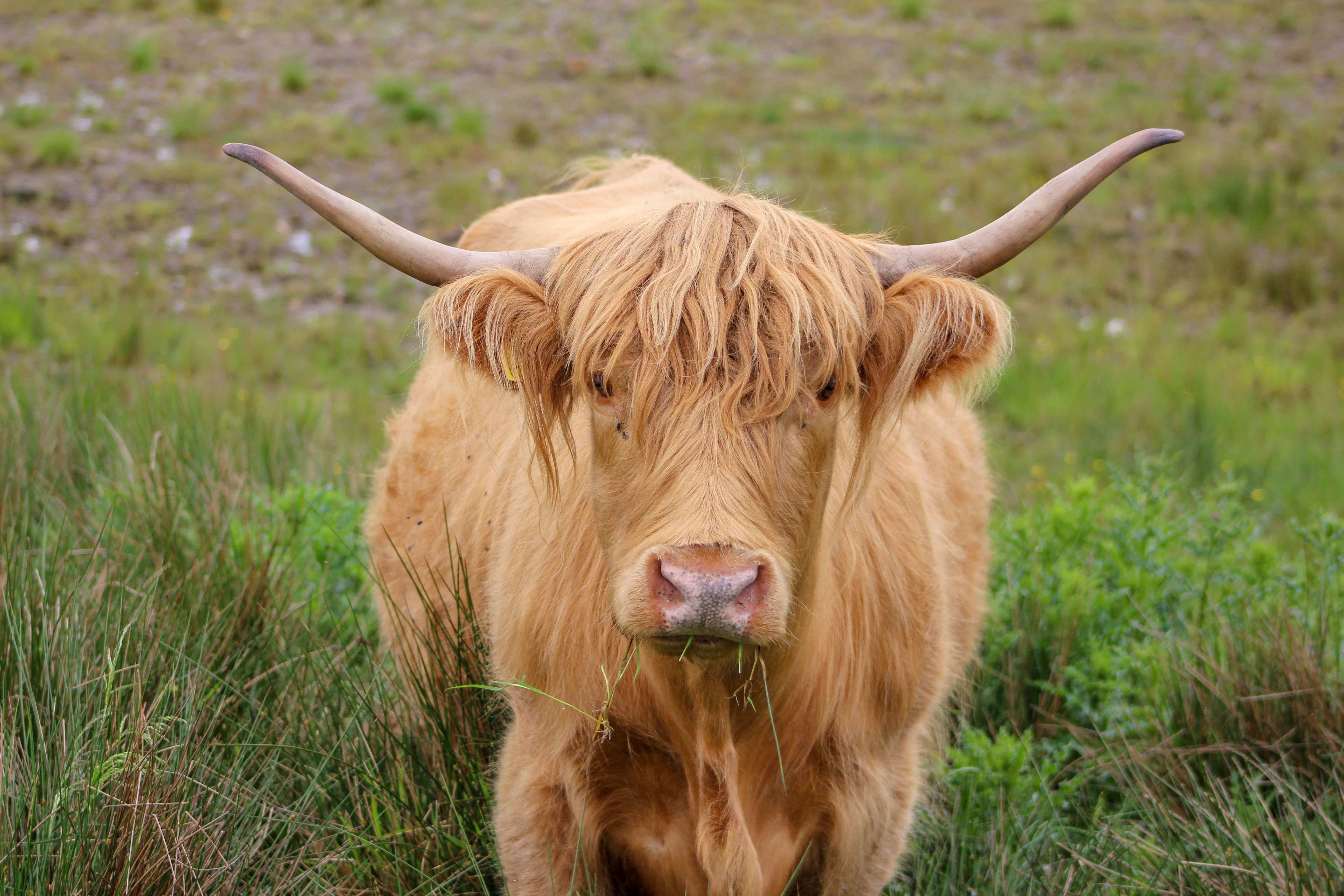 Hairy coos are frequently spotted in the Highlands of Scotland. (Cheryl Welch | Travel Beat Magazine)