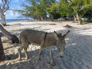 Turks and Caicos has beaches with few people and meandering wild donkeys and horses. (Kevin Kaiser | Travel Beat Magazine)