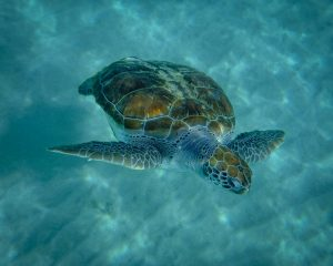 Giant sea turtles swim with you in Curacao. (Kevin Kaiser | Travel Beat Magazine)